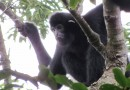 Last chance plan to save world's rarest ape, the Hainan gibbon