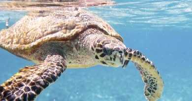 Sea turtle Hainan