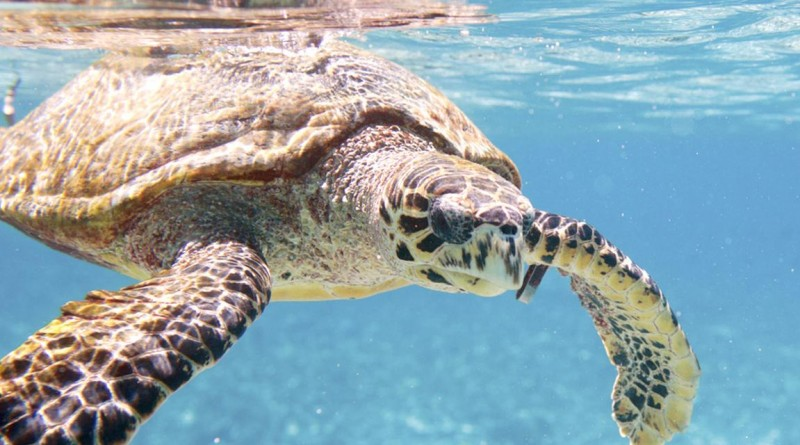 Sea turtle Hainan