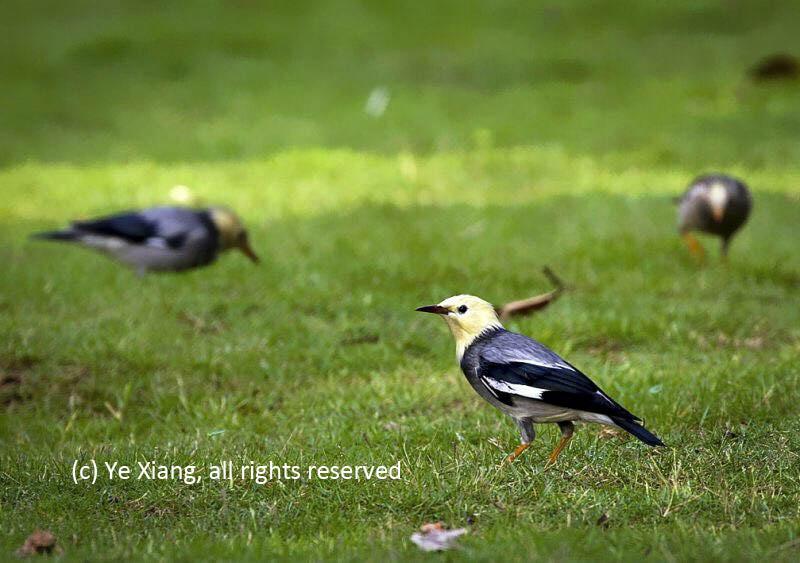 Grey backed Starling