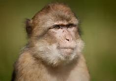 Hainan Macaque