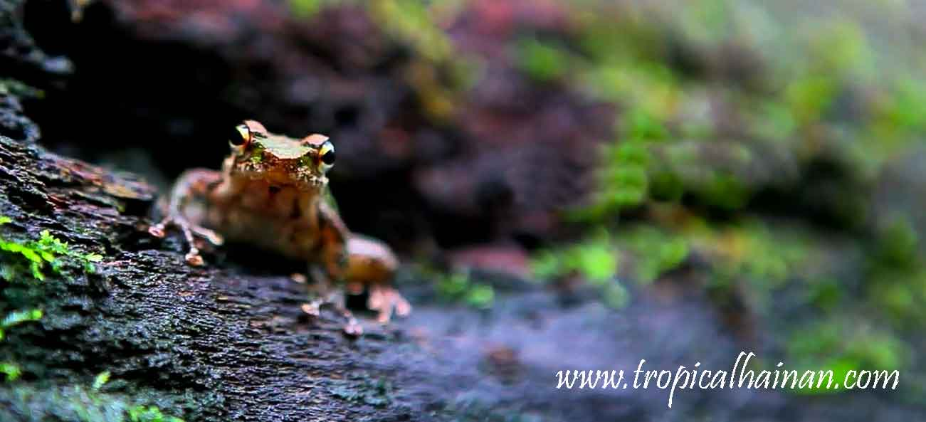 Yanoda rainforest frog