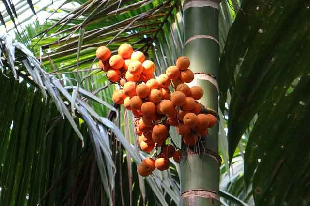 Areca Valley Ganshiling