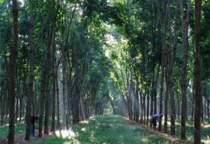 Hainan Rubber Plantation