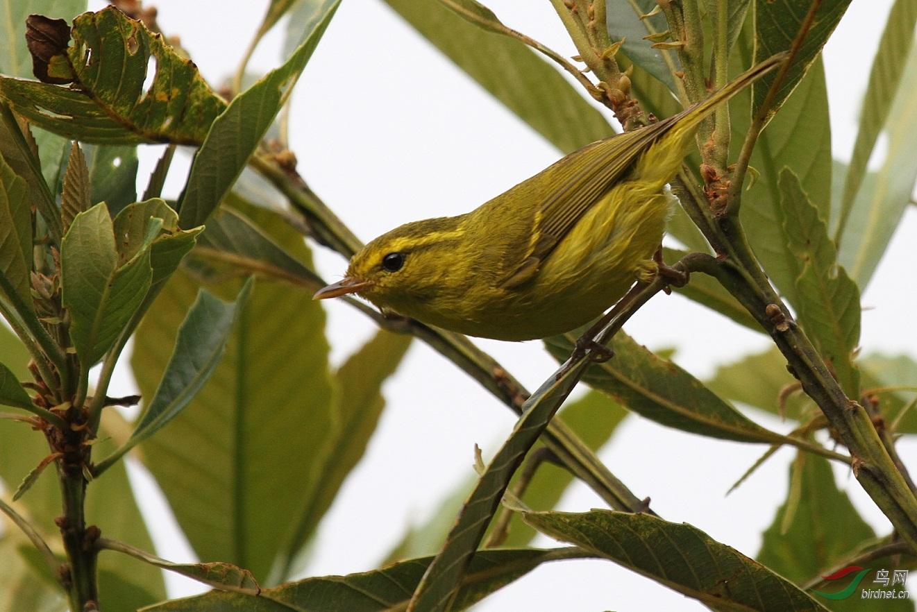 Hainan leaf warbler