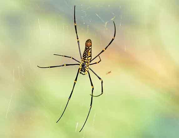 Hainan-Spider
