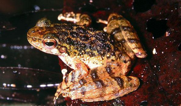 Hainan torrent frog