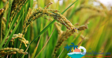 Seawater rice could eventually feed 80 – 200 million people