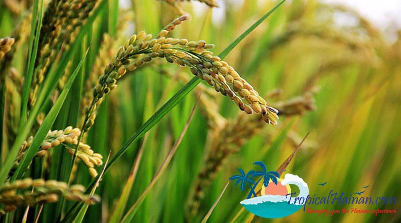 Seawater-rice-in-Hainan