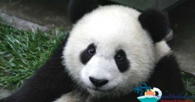 Giant panda bears arrive in Hainan