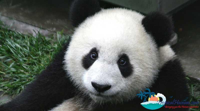 Panda-bears-in-Hainan-2