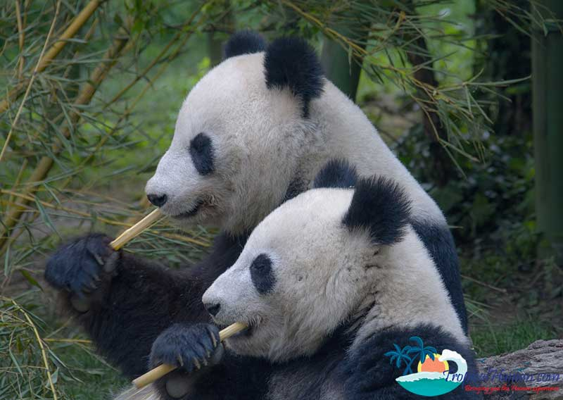 Panda-bears-in-Hainan-3