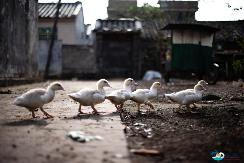 Discover-Bo-Tai-village,-one-of-Haikou's-ancient-villages-with-a-history-dating-back-800-years-ducks