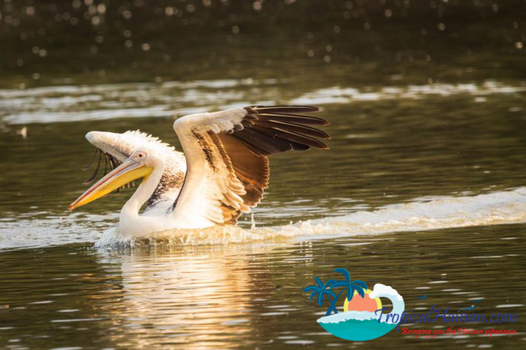 Pelicans arrive in Haikou for the winter (13)