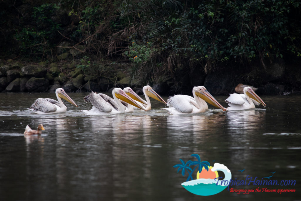 Pelicans arrive in Haikou for the winter (4)