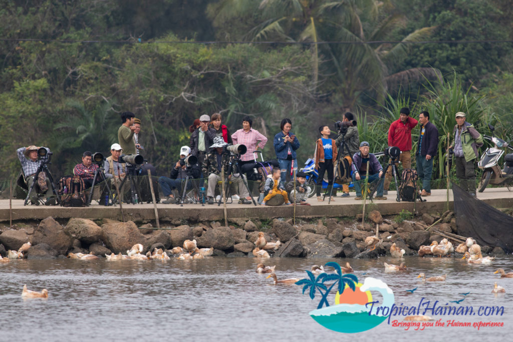 Pelicans arrive in Haikou for the winter (9)