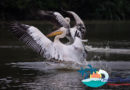 Pelicans flock to Haikou's wetlands for the winter