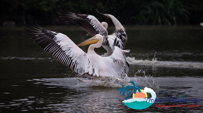 Pelicans arrive in Haikou for the winter feature image