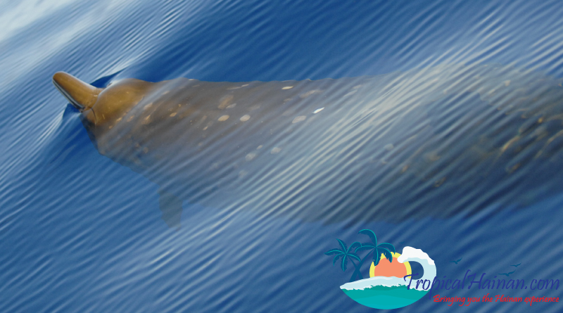 Beaked Whale in South China Sea off Hainan