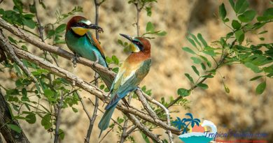 Blue-tailed bee-eaters in Haikou
