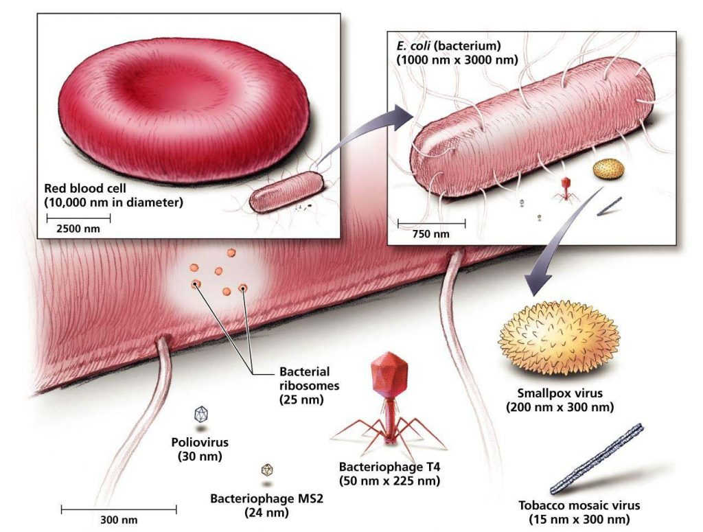 Size of some viruses compared to E.coli