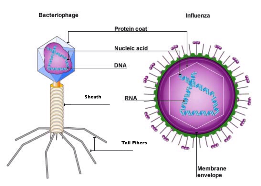 Basic components of a simple virus