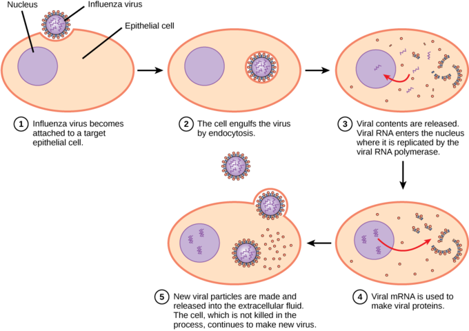 The virus hijacks the cell's machinery to replicate