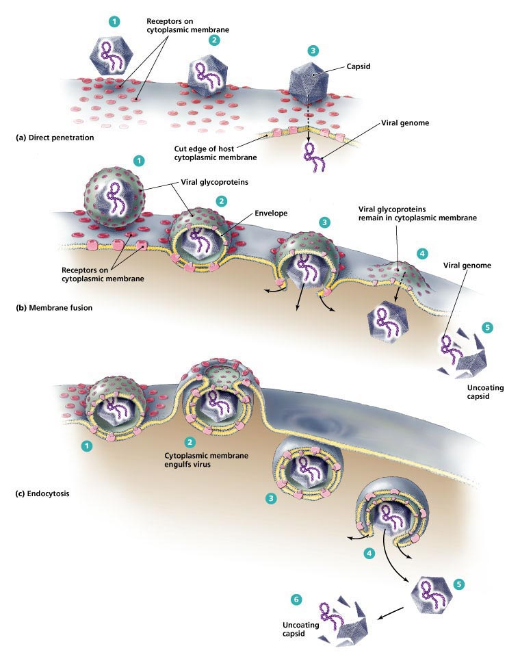 Different modes of entry into the cell