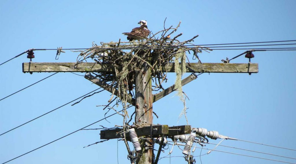 Nests in power lines