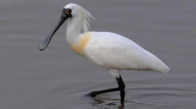 Endangered Black-faced spoonbills spotted in Haikou