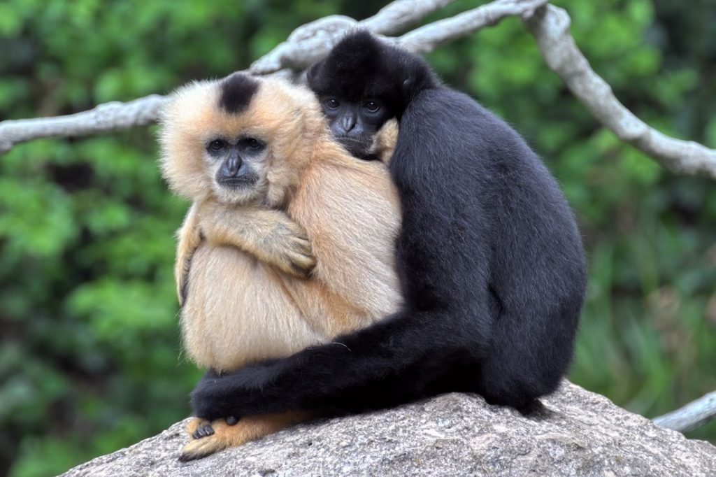 Hainan launches center for the study and protection of  gibbons in Haikou