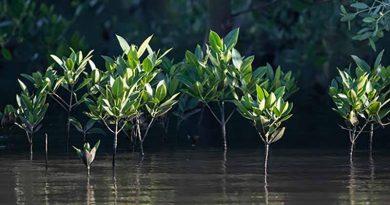 Hainan mangroves