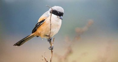 A-nature-walk-in-the-Haikou-countryside-Long-tailed-Shrike
