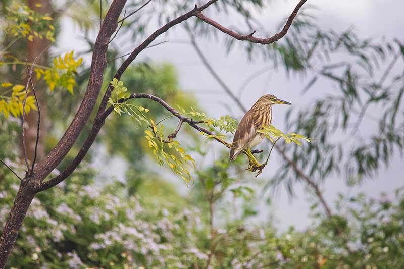 Chinese-Pond-Herons-Meishi-wetland-park-(1)