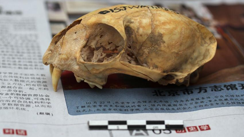 The skull of a cat unearthed from an ancient Chinese farming village