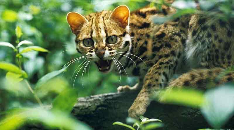 leopard-cat