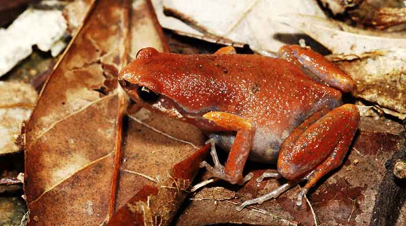 New-species-of-frog-Feature-image
