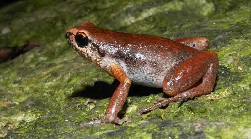 Micryletta immaculate, New-species-of-frog-image-2