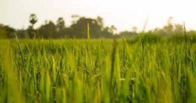 Jiangdong-rice-fields-in-Haikou-Hainan-island-free-trade-port