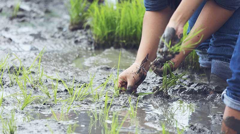 planting-organic-rice-farmland