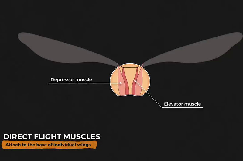 Direct flight muscles