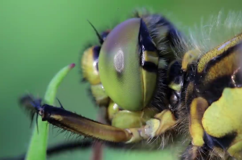 Dragonflies also have 360 vision