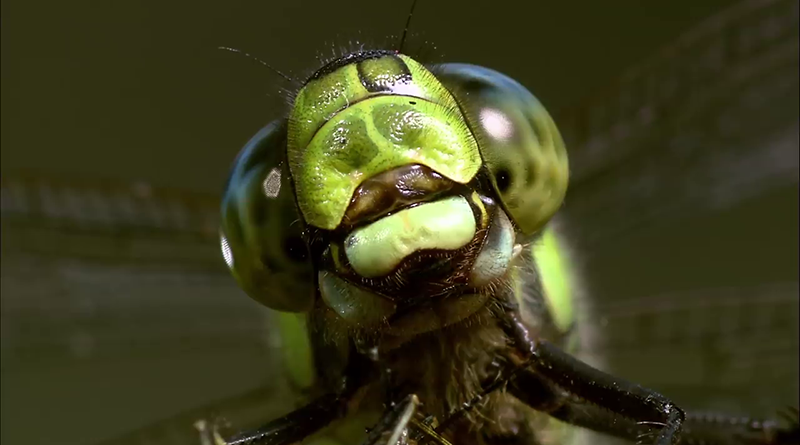 Dragonflys move their head with the movement of their prey