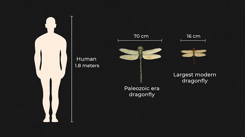 Size comparison of dragonflies