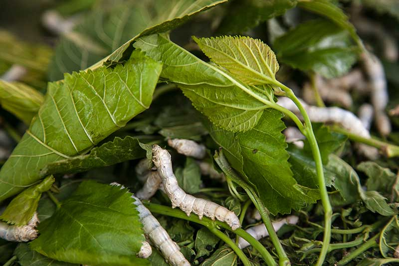 Silkworms can ONLY survive on mulberry leaves (genus Morus)