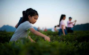 Visit Baisha's tea growing plantations